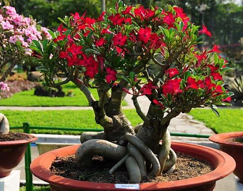 Адениум - от семечка до цветения
