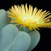 Цветочек-солнышко глотифиллум