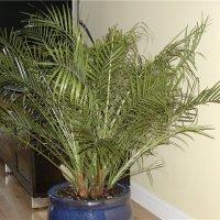 Финиковая пальма из семян