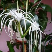 Исмене - паутинная лилия