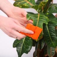 Как правильно очищать от пыли растения с опушенными листьями