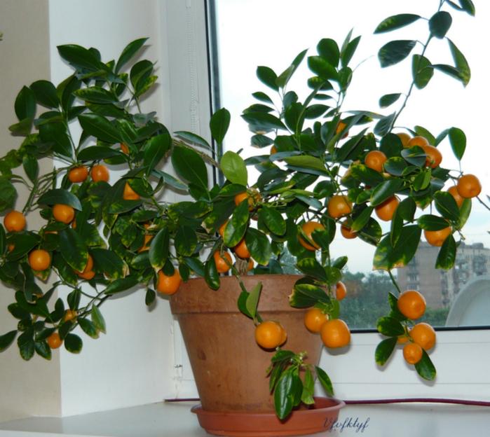 Цветок который похож на лимон
