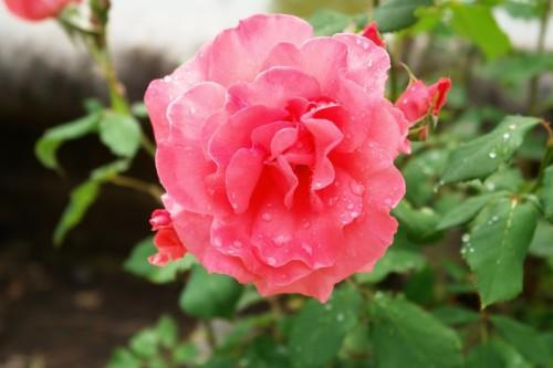 Крымской розе не хватает света и тепла
