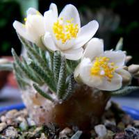 Мимолетное цветение анакампсероса