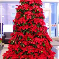 С помощью каких комнатных растений можно украсить интерьер дома к новогодним праздникам?