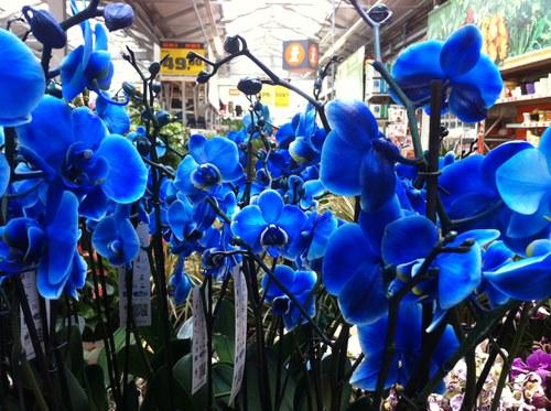 Синих фаленопсисов не бывает!