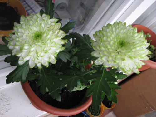 В конце декабря мои хризантемы наконец зацвели
