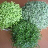 Выращивание солейролии