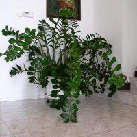 Замиокулькас - первый в списке