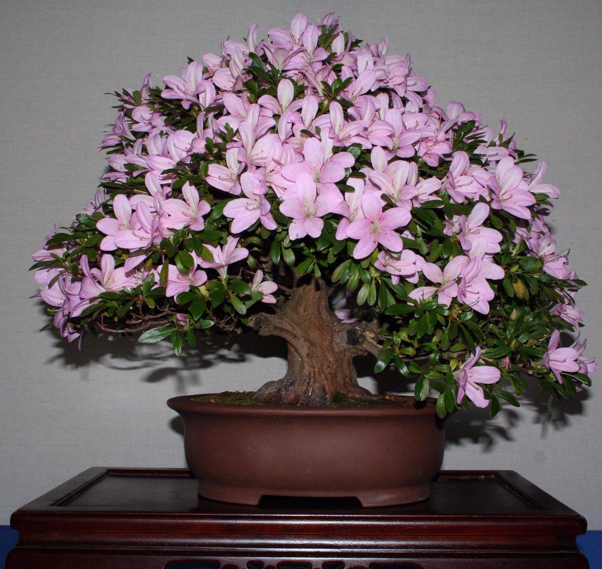 Азалия фото цветов комнатная