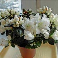 Азалия - от покупки до цветения
