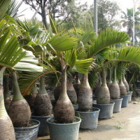 Гиофорбе бутылковидная - настоящая «бутылочная пальма»