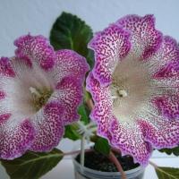 Глоксиния из семян и цветоноса
