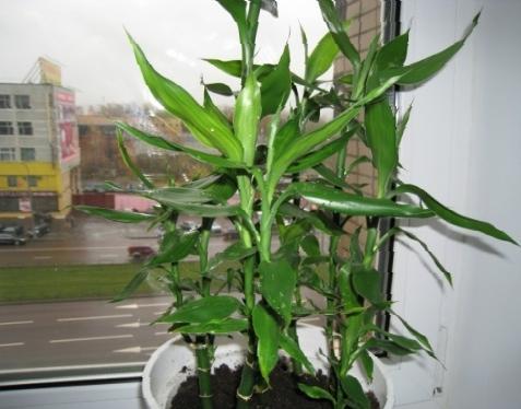 Как вырастить бамбук счастья