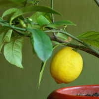 Лимон с привкусом грейпфрута