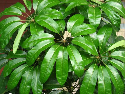 Шеффлера - дерево-зонтик