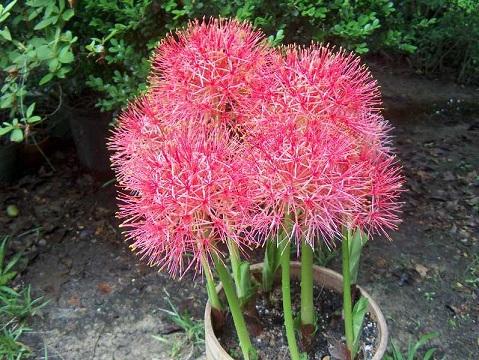 Скадоксус многоцветковый, или кровавая лилия