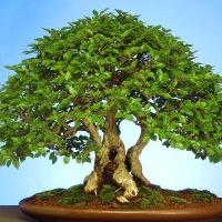 Бонсай. Искусство формирования растений