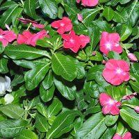 Катарантус - барвинок розовый