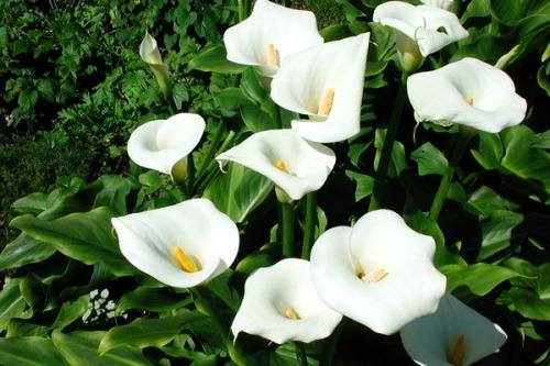 Зантедеския (Zantedeschia elliottiana)