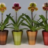 Орхидея венерин башмачок - туфелька, покорившая сердце