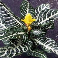 Почему афеляндра сбрасывает листья?
