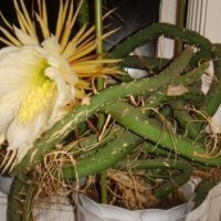 Селеницереус - такой ли обычный кактус?