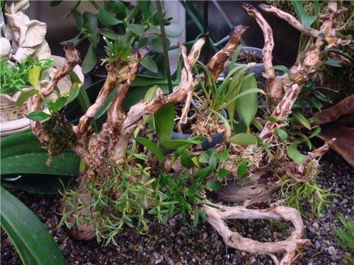 Выращиваем бромелии на коряге