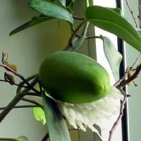 Плоды стефанотиса должны созреть