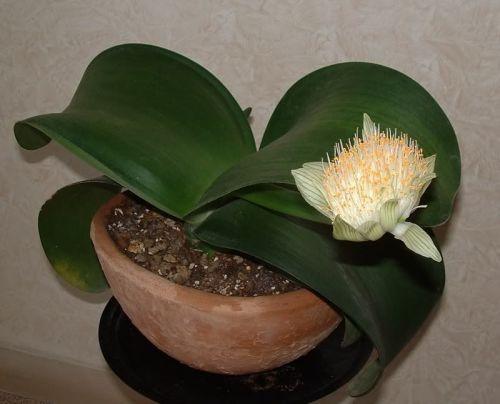 Гость из Южной Африки - гемантус белоцветковый