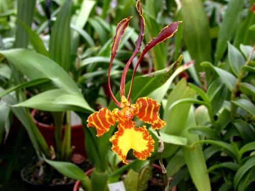 Орхидеи рода Психопсис - приручаем «насекомое»