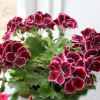 Пеларгония - королевна и бабушкин цветок