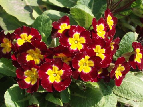 Примула - цветок с оранжевыми глазками
