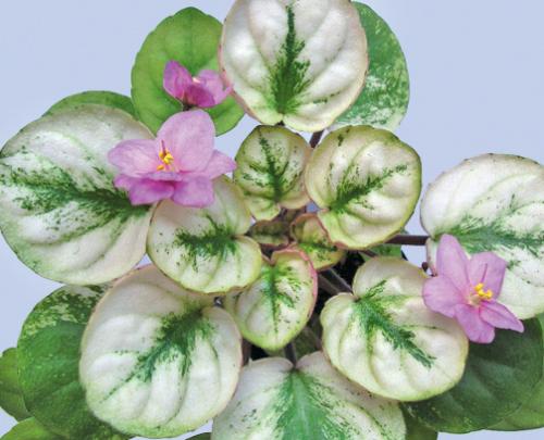 Сенполия - лиственная мозаика