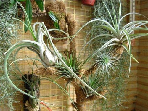 Атмосферные тилландсии - фонтан серебристых листьев
