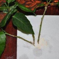 Окоренять черенки гибискуса лучше в грунте, чем в воде