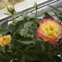 Спасение роз
