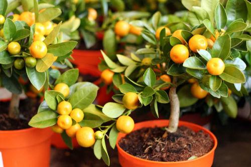 Апельсин - родина его неизвестна, вкус его прекрасен