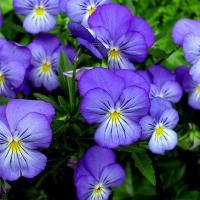Секреты яркого цветения сенполий