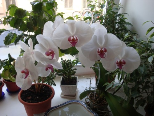 Орхидея - и вовсе она не капризная!