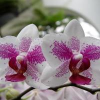 Орхидея - как женщина