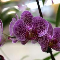 Цветение орхидей нон-стоп