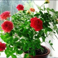 Спасаем розу от тли